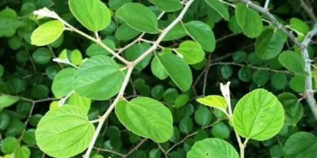 Manfaat daun bidara